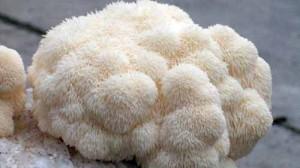 Süngomba (Hericium erinaceus)