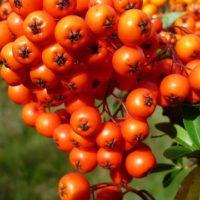 berries-2735942_640